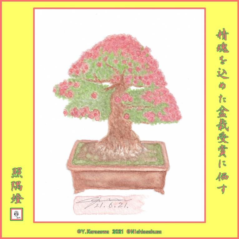 210621皐月盆栽