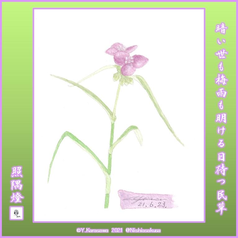 210623紫露草LRG