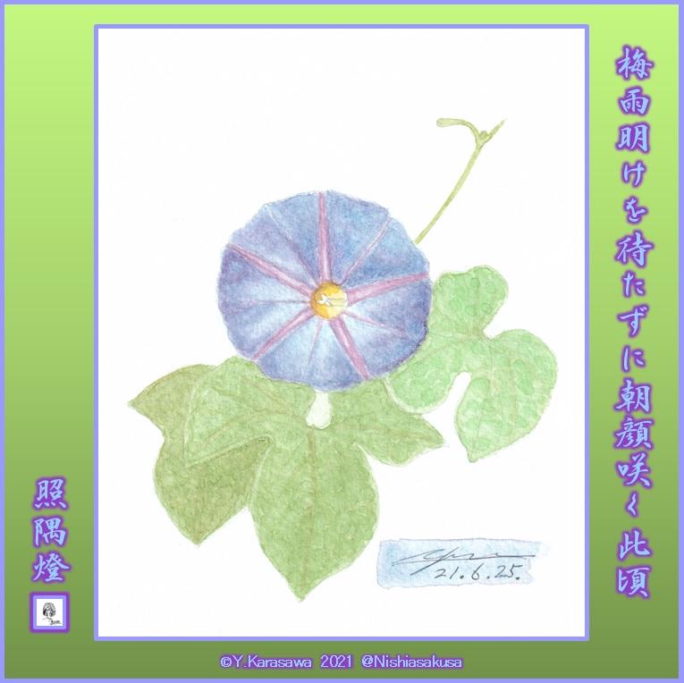 210625朝顔青紫LRG