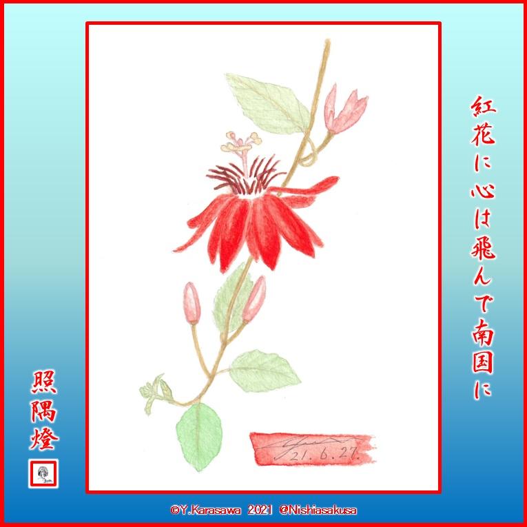 210627紅花時計草LRG