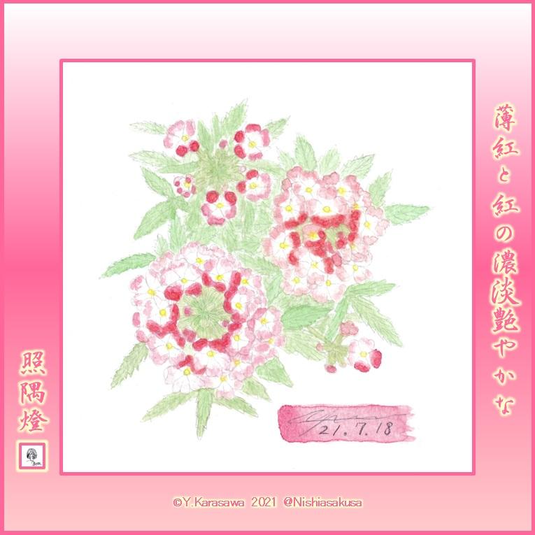210718美女桜ピンク濃淡LRG