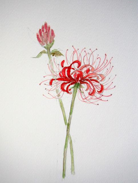 s-綺麗に咲いた彼岸花