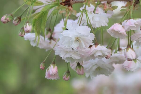 2021-5-11 八重桜 (1)