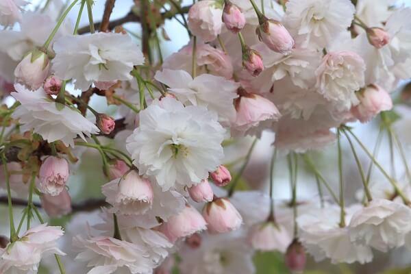 2021-5-11 八重桜 (4)