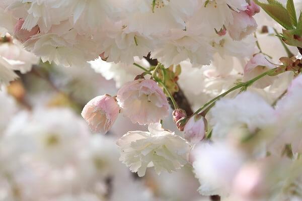 2021-5-11 八重桜 (11)