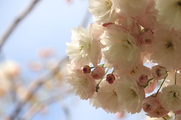 2021-5-11 八重桜 (9)
