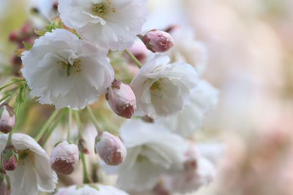 2021-5-11 八重桜 (3)