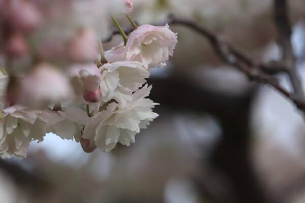 2021-5-11 八重桜 (6)