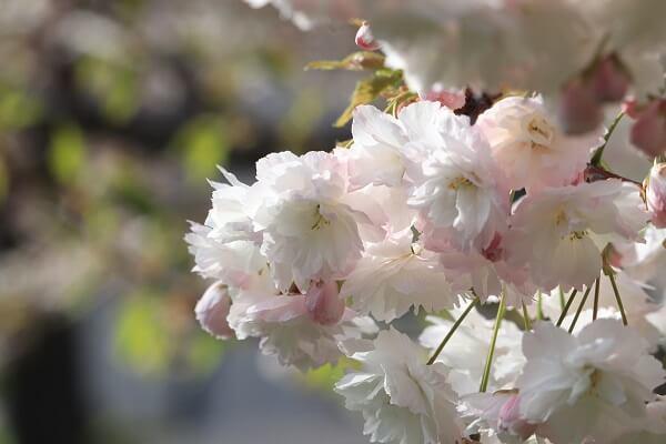 2021-5-11 八重桜 (7)