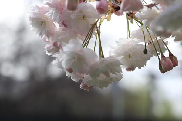 2021-5-11 八重桜 (5)