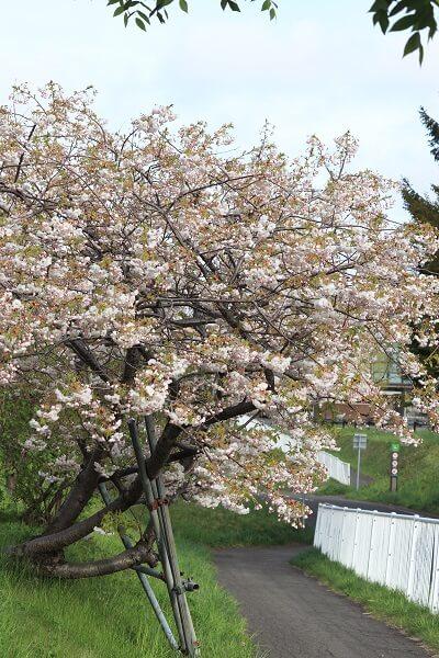 2021-5-11 八重桜 (10)