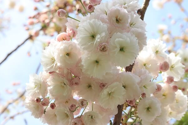 2021-5-11 八重桜 (8)