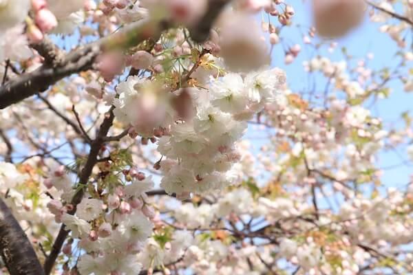2021-5-11 八重桜 (2)