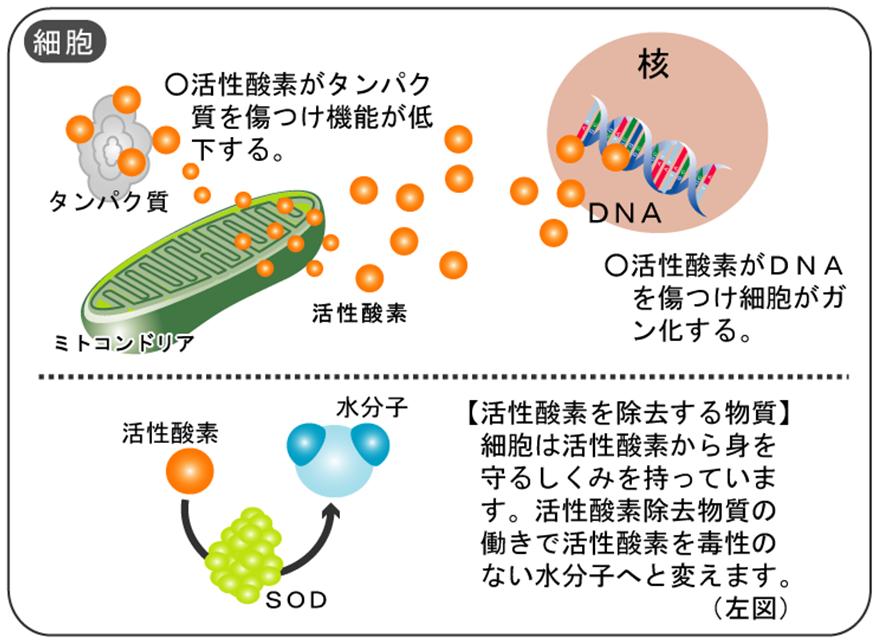ミトコンドリア 活性酸素SOD