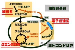 ミトコンドリア 化学式