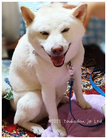 柴犬 ペット